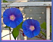 Photograph Card - Royal Blue Morning Glory flower Greeting Card