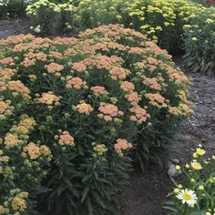 Proven Winners - 'Firefly Peach Sky' - Yarrow - Achillea hybrid orange pink peach plant details, information and resources. Best Perennials, Plants, Water Features In The Garden, Plants That Attract Butterflies, Yarrow Plant, Achillea, Perennials, Shade Loving Perennials, Garden Care