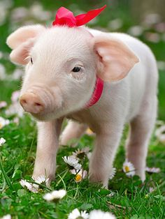 pig with a bow