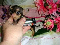Effective Potty Training Chihuahua Consistency Is Key Ideas. Brilliant Potty Training Chihuahua Consistency Is Key Ideas. Teacup Chihuahua Puppies, Tiny Puppies, Cute Chihuahua, Puppies And Kitties, Cute Puppies, Cute Dogs, Doggies, Teacup Pomeranian, Little Dogs