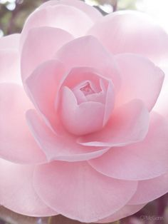 The delicate petals of a feminine pale pink rose - so perfect