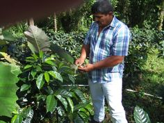 Ernesto checking on the coffee cherries