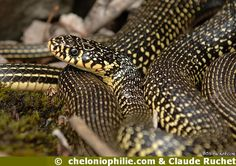Couleuvre verte et jaune (Hierophis viridiflavus)