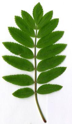 Rowan Leaf Shape   Decoding Nature