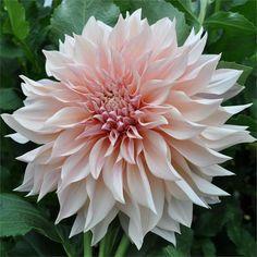 Cafe Au Lait - Item Potential for Unique Flowers, Cut Flowers, Beautiful Flowers, Rare Flowers, Dalia Flower, Growing Dahlias, Garden Shop, Plantar, Summer Flowers