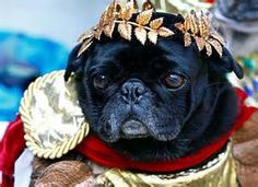 This Pug looks great dressed up as the Roman Caesar #puppied