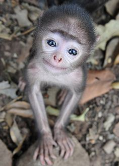 So cute baby monkey Cute Baby Monkey, Cute Baby Animals, Funny Animals, Tiny Monkey, Wild Animals, Monkey Food, Barn Animals, Smiling Faces, Pets