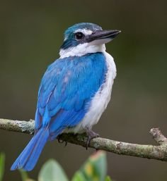 White-Collared Kingfisher. Photo by deseonocturno