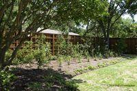 growing blackberries in north texas