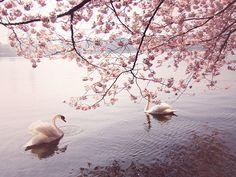 swan lake by Lisa Olsson