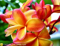 Tropical blooms #CaptureTheCover entry - by Cheryl in Brisbane's Logan City, Beenleigh Region. Click to enter your photos!