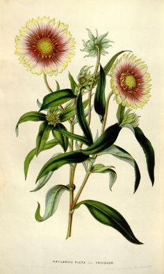 Gaillardia picta, var. tricolor