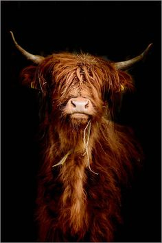 Scottish highland cattle at Posterlounge ✔ Affordable shipping ✔ Secure payment ✔ Various materials & sizes ✔ Buy your print now! Highland Cow Art, Scottish Highland Cow, Highland Cattle, Scottish Highlands, Highland Cow Painting, Animal Photography, Fine Art Photography, Nature Photography, Farm Animals