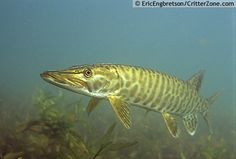 """The Muskellunge also know as """"muskie"""" or """"musky"""" is a species of large, relatively uncommon freshwater fish of North America. Description from realoutdoor.wordpress.com. I searched for this on bing.com/images"""