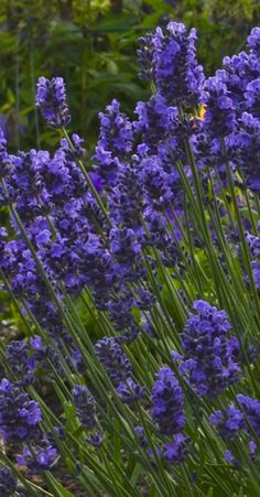 Sweet Romance Lavender shares its richly colored, long-blooming flowers all season long. This perennial is hardy in zones 5-9 and will invite the butterflies to your backyard.  Heat and drought tolerant, with an amazing fragrance too!