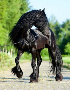 Fell Pony, Cody. photo: Valeria Korotkevich.
