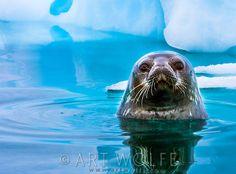 Weddell seal, Antarctica