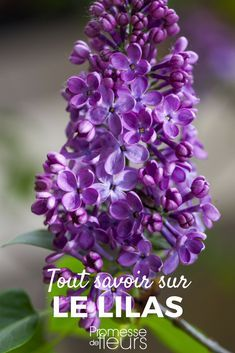 Lilac Syringa plant carve keep Lilac Flowers, Exotic Flowers, Real Flowers, Pretty Flowers, Spring Flowers, Purple Lilac, Beautiful Flowers Pictures, Flower Pictures, Syringa Vulgaris
