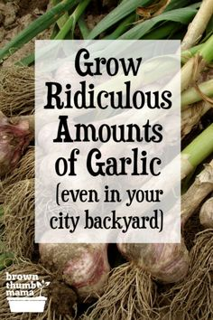 Yes you can grow ridiculous amounts of garlic in the city! You'll get the biggest most flavorful garlic you've ever eatn. Includes information on types of garlic when to plant best fertilizers for garlic and more. Growing Herbs, Growing Vegetables, Vegetables Garden, Veggies, Gardening For Beginners, Gardening Tips, Bucket Gardening, When To Plant Garlic, Planting Garlic