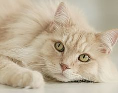 A Blonde furred Maine Coon. Or a sand colored one you could call it. One of the largest domestic cat breed's. And it's quality is simply beautiful and it can be found on Google images. [All rights reserved to the picture's original owner.]