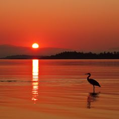 'Waiting' by Terrance Lam. Great blue heron at sunrise at Rathtrevor Beach, Parksville, Vancouver Island, BC. Beautiful Sunset, Beautiful Beaches, Beautiful World, Beautiful Moments, Parks, 139, I Love The Beach, Beach Photography, Color Photography