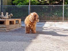 Er was nog één Engelse Cocker Spaniel over in ons gezin. Onze Mambo! Een hond met een oranje gouden lintje, omdat ze zo lief en ondeugend was, maar ook omdat ze gek was op oranje. Dit is een ode aan de lieverd die we los hebben moeten laten! Als er een Engelse Cocker in ons… Het bericht Een Mambo met een oranje gouden lintje verscheen eerst op Bij Zus.