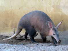 Aardvark. Their babies look like the nugs from the Dragon Age games.