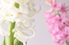 White & Pink Hyacinths by Bright Young Things on Creative Market
