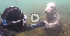Somebody just wants his tummy tickled! Diver catches close encounter with friendly seal on underwater camera - weloveanimals. National Geographic, Little Girl Names, Out Of The Woods, Storybook Cottage, Adventure Of The Seas, Close Encounters, Warm Fuzzies, Racing Motorcycles, Clydesdale