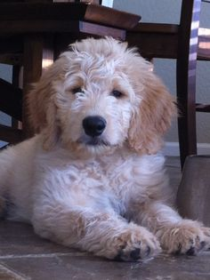 Sparky, our Goldendoodle Puppy #perskinality