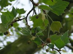 The London Plane Tree is botanically called Platanus acerifolia. The Tree is a deciduous tree, it will be up to 30 m ft) high. The leaves are lobed and the flowers are greenish. The tree likes Sun at the location and the soil should be sandy to loamy. London Plane Tree, Deciduous Trees, Water Features, Scenery, Drawings, Flowers, Plants, Water Sources, Landscape