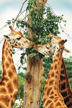 Beautiful- giraffes sharing a meal
