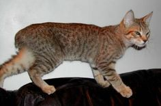 Pixie-Bob- we had one we named Kitty. Look at the other photos. Looks exactly like kitty! RIP Kitty.