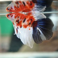 Live-Betta-Fish-Male-Fancy-ORANGE-KOI-034-Utsuri-034-Halfmoon-HM-A40