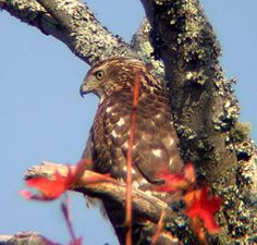 Cooper's Hawk (Accipiter cooperi)