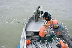 Stock Photo : Commercial Fisherman Untangle Sockeye Salmon From A Gillnet Aboard…