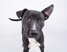 Washington - URGENT - located at Dekalb County Animal Shelter in Decatur, Georgia - 2 year old Pit Bull Mix - Washington is a super sweet boy who loves everyone he meets and has the cutest ears imaginable. This happy boy can't wait to be yours! His adoption includes his neuter, microchip, vaccinations, and more!