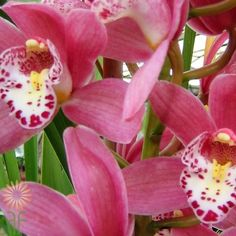 11-orchid-cymbidium-mini-pink Hot Pink Flowers, Colorful Flowers, Orchid Flowers, Cymbidium Orchids, Diy Wedding Flowers, Pink Color, Floral Design, Great Gifts, Plants