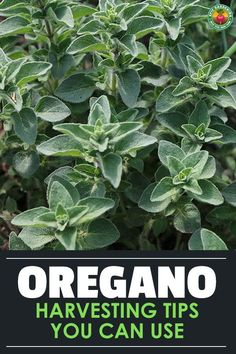 If you know how to harvest oregano properly, you'll be able to keep your house stocked with flavorful leaves! Our guide reveals how! Oregano Plant, How To Dry Oregano, Herb Gardening, Hydroponic Gardening, Organic Gardening, Farm Pictures, Garden Pictures, Growing Herbs