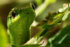 cobra-cipó (snake-vine) - Chironius bicarinatus - Mata Atlântica - Brazil.