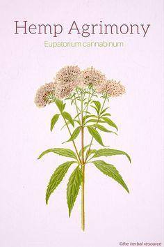 Hemp Agrimony (Eupatorium cannabinum)