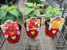 #Chilli backup (#Habanero Red, #Trinidad Scorprion, #Fataii) Chilli Plant, Trinidad, Hot, Plants, Flora, Plant, Planting