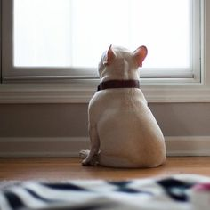 A French Bulldog Puppy waiting for the little humans to come home ❤️ _ Collar by @dukelovesfergie