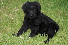 Our giant schnauzer Lily when she was just a pup
