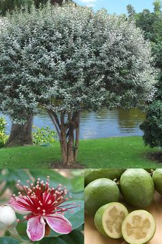 Pineapple Guava is a evergreen shrub or small tree admired and prized for it's uniquely beautiful and sugar sweet flavored edible flowers and tasty. Edible Plants, Edible Garden, Fruit Plants, Edible Flowers, Pineapple Guava Tree, Guava Fruit, Guava Plant, Evergreen Shrubs, Outdoor Plants