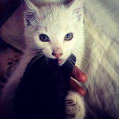 Artemis <3 #cat #kitten #kittens #white #whitecat #playwithcat #neko #sweet #cute #artemis #cateye #eyecat #grey #greyeyes #cats #catsofinstagram #catselfie #selfie #relax #play #photography #photo #photoshoot #kot #kotek #catlover #catstagram #youngphotographer #art #artist