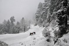 A local walks with his ponies during the season's first snowfall in Shimla, India