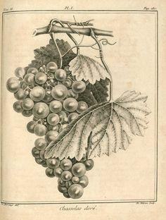 raisin chasselas dore - vigne.jpg (1024×1358)