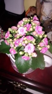 Kalanchoe Kalandivas, #flowering, #succulent #houseplants that need bright light & little care. http://www.houseplant411.com/askjudy/please-identify-my-succulent-houseplant