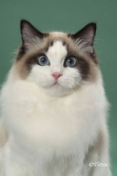 Bi-Colour Ragdoll - We have one and they are beautiful cats.  Ragdolls are also very loving and mello.  Great with little kids.